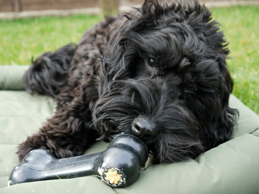 What to put in a dog kong, dog kongs are great for keeping the dogs entertained, and happy in situation that they are unsure of. So I have put together 39 ideas on what you can put in a dog kong. I had a perfect tester for the kong, he approved of what was inside the dog kong!