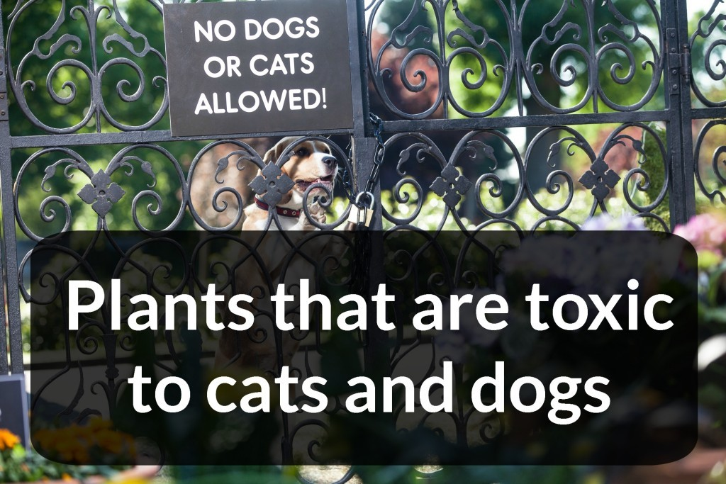 Plants-that-are-toxic-to-cats-and-dogs