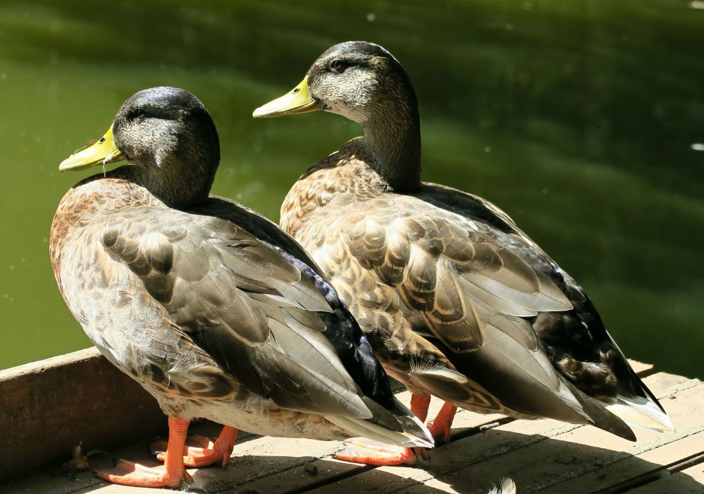 sherwood-forest-ducks