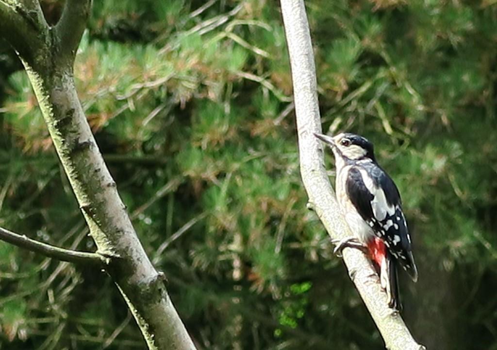 sherwood-forest-kingfisher