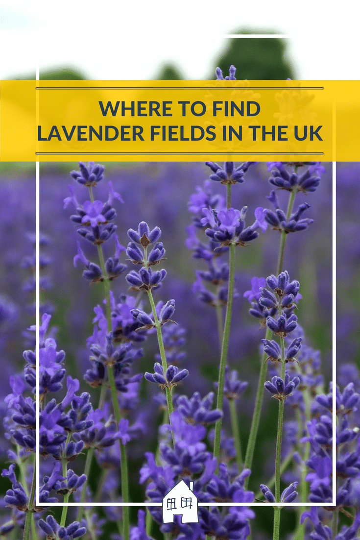 where to find lavender fields, are you looking for places where you can find lavender fields to capture some beautiful pictures in, or just to have a look at. Lavender smells so nice, and makes stunning images.