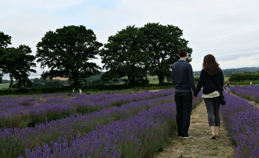lavender-fields-2016-1