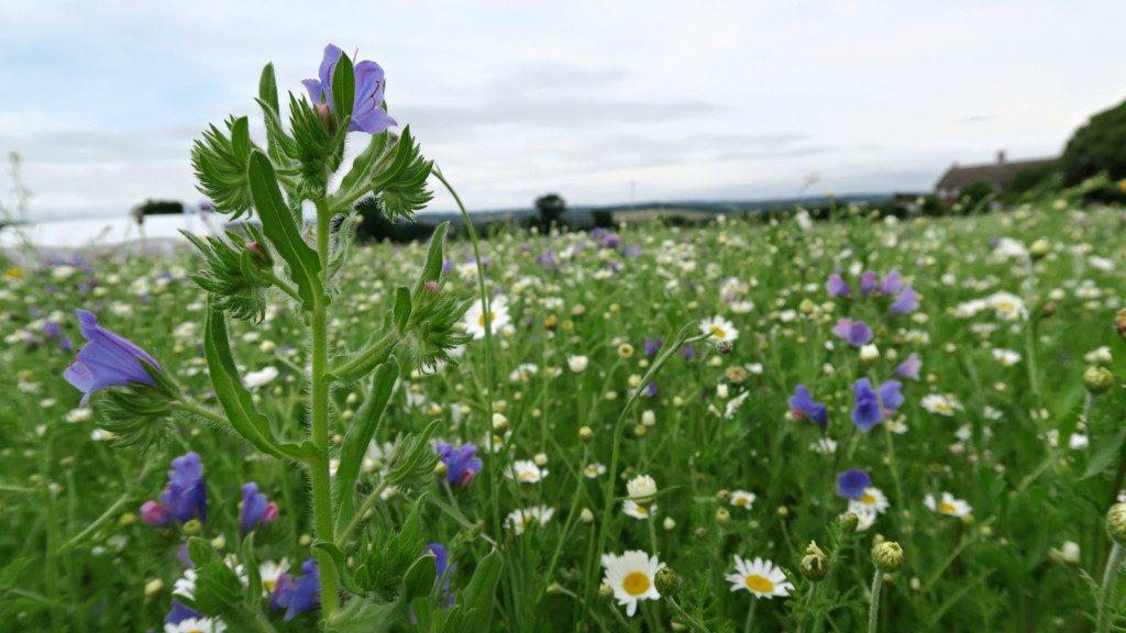 lavender-fields-2016-2