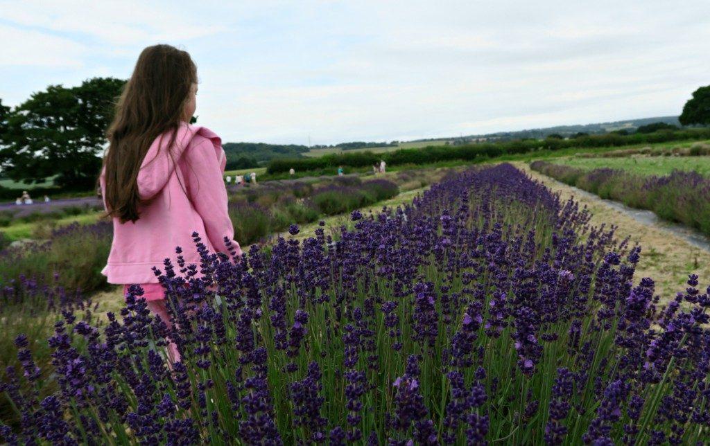 lavender-fields-2016-3