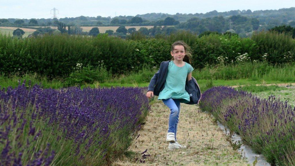 lavender-fields-2016-4