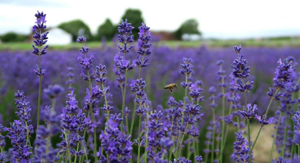 lavender-fields-2016-6