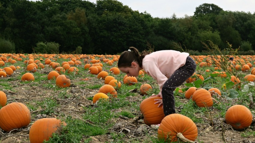 pumpkin-field-3