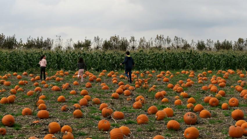 pumpkin-field-5